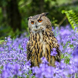 Amongst the bluebells by Garry Chisholm - Animals Birds ( bird, garry chisholm, nature, wildlife, prey, raptor, eagle owl, bluebells )