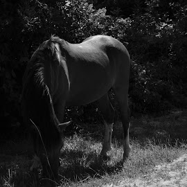 Hi Ho Silver by Dean Germann - Animals Horses ( wild, pony, outdoor, horse, wildlife )