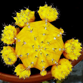 Yellow Moon Cactus by Pradeep Kumar - Nature Up Close Other plants