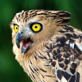 Great Day by Zainal CZmania - Animals Birds ( bird, green, owl, bubo, eyes )