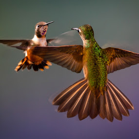 Face Off by Mike Trahan - Animals Birds ( hovering, bird, flying, rufous-tailed hummingbird, nature, hummingbird, purple-throated woodstar, animal, motion, animals in motion, pwc76 )