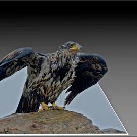 Bald Eagle take off by Janet Gilmour-Baker - Digital Art Animals ( bird, juvenile eagle, animals, bald eagle take off, vancouver island, digital art, launch, bald eagle, juvenile bals eagle )