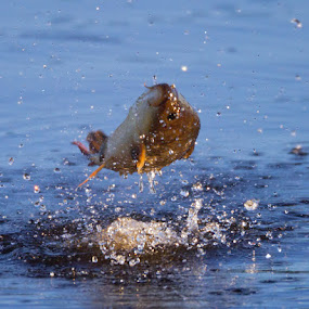 Jumping Carp by Herb Houghton - Animals Fish ( impound, carp, fish, herbhoughton.com, jump )