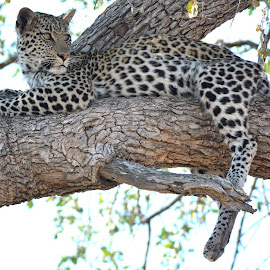 POSITION A FOR A LEOPARD by Byron Beedle - Animals Lions, Tigers & Big Cats