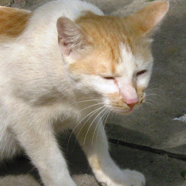 kitten by Areej Khalid - Animals - Cats Kittens ( cat, kitten, upclose, white, sunlight )