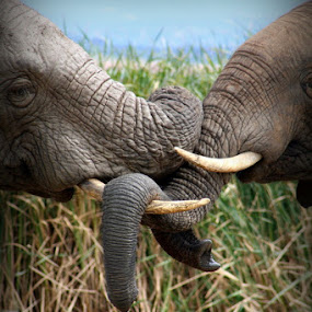 Entangled ...  by Desiree Havenga - Animals Other ( trunk, elephant, tusk,  )
