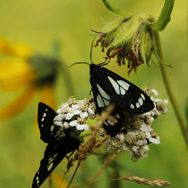 Butterflies by Sean Rodier - Animals Other ( butterfly, white, bug, yellow, flower, black )