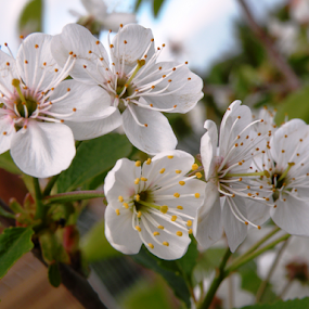 by Rita Bugiene - Flowers Tree Blossoms