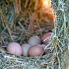 Hen's Nest, Clayton, California by Kathleen Koehlmoos - Nature Up Close Hives & Nests ( barnyard, hay, hen's nest, farmyard, hen's eggs, chicken eggs )