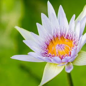 Lotus Purity by Calvin Chan - Nature Up Close Flowers - 2011-2013 ( lotus flower purity )