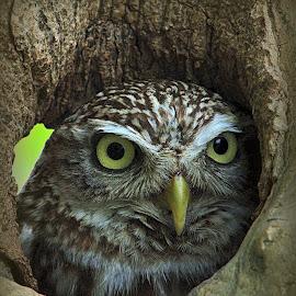 Little Owl by Alex Graeme - Animals Birds (  )
