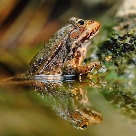 Frog reflexion by Gérard CHATENET - Animals Amphibians