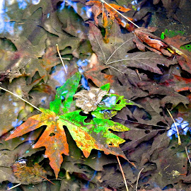Underwater Autumn by Campbell McCubbin - Nature Up Close Leaves & Grasses ( reflection, underwater, autumn, fall, leaves, decay )