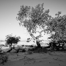 Otherworldly Oasis by Ally Skiba - Landscapes Deserts ( moonset, desert, tree, national monument, black and white, otherworldly, white sands, sunrise, landscape, oasis, new mexico )