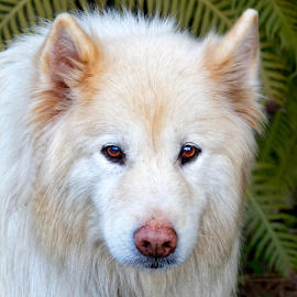 Dog 932~Q by Raphael RaCcoon - Animals - Dogs Portraits