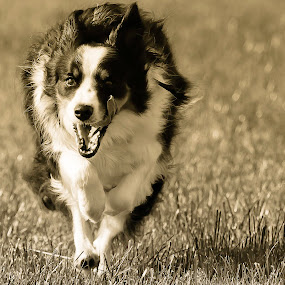Freedom by Jon Hunter - Animals - Dogs Running ( tongue, shadow, running, border collie. sepia )