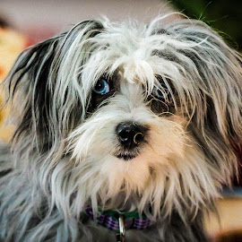 Gracie by Jerome English - Animals - Dogs Portraits ( pet portrait, animals, tricolor, furry, blue eyes, puppy portrait )