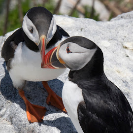Pair of Puffins by Mary Malinconico - Animals Birds ( acadia national park )