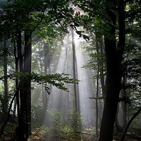 by Siniša Almaši - Nature Up Close Trees & Bushes ( forest, sunrays, sunlight, view, nature, light, fom, natural light, trees, mist, depth morning )