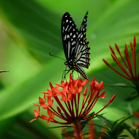 Butterfly by Syam Alendu Nair - Animals Insects & Spiders