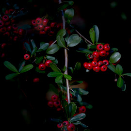 Red Berries by Jim Oakes - Flowers Flowers in the Wild ( plant, wild, red, bush, berries )