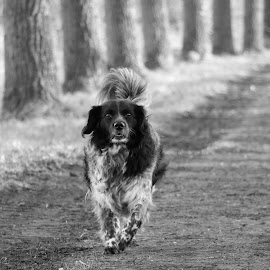 Dog by Hilda van der Lee - Animals - Dogs Running ( field, black and with, dog, alone, close up,  )