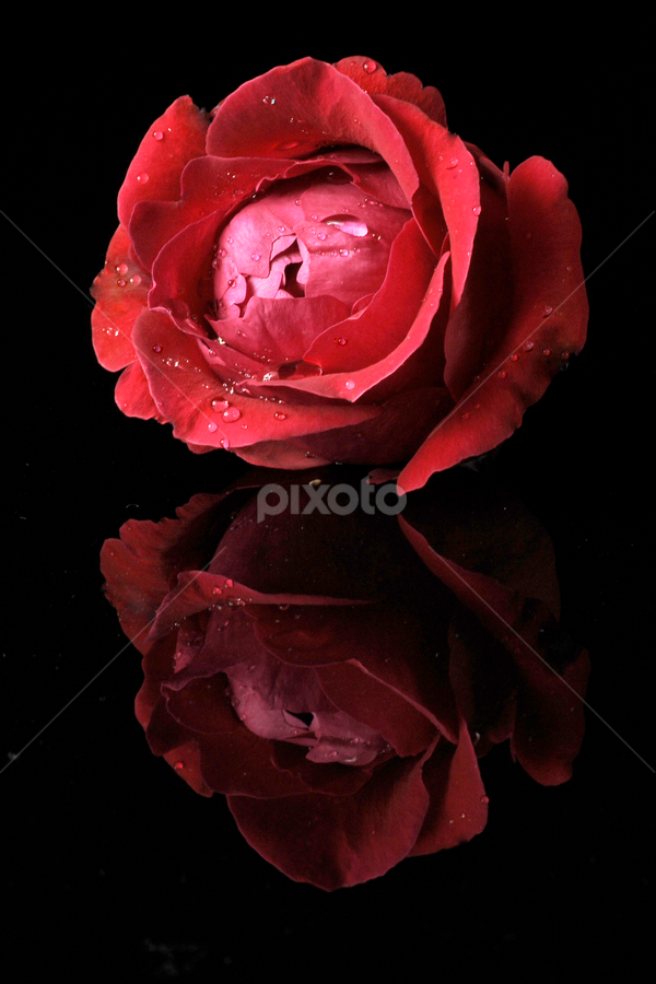 Red Rose by Cristobal Garciaferro Rubio - Nature Up Close Flowers - 2011-2013 ( rose, red, drops, red rose, flowers, flower )
