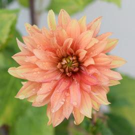 Wet And Wild by Ed Hanson - Flowers Single Flower ( orange, macro, wet, dahlia, flower )
