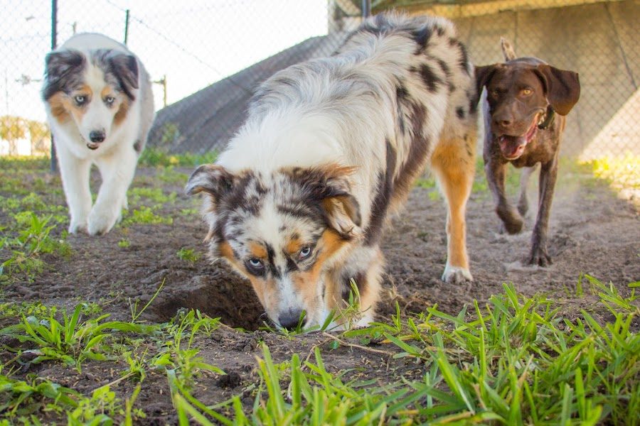 hole boy by Meaghan Browning - Animals - Dogs Playing ( dogs, park, australian shepherd, aussie, hole )