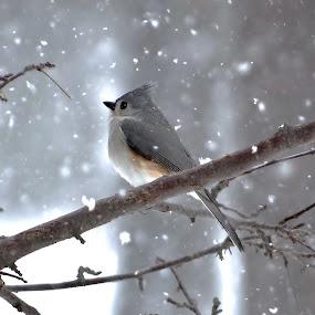 Spring dreamer by Carolyn Kernan - Animals Birds ( , animal snow , Earth, Light, Landscapes, Views )