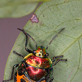 Coloured Bug by Geoffrey Wols - Animals Insects & Spiders ( macro, colourful, stink bug, leaf, insect )