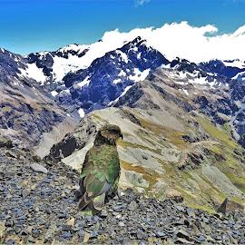 by Phil Bear - Landscapes Mountains & Hills ( bird, glacier, mountains, arthur's pass, kea, parrot, rolleston, new zealand )