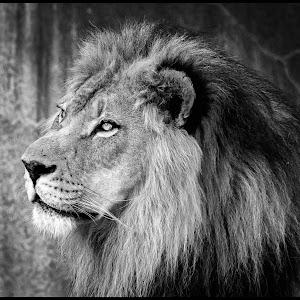 Lion-24.jpg