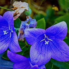 Dark blue twins by Radu Eftimie - Flowers Flowers in the Wild ( macro, blue, intense, flowers )