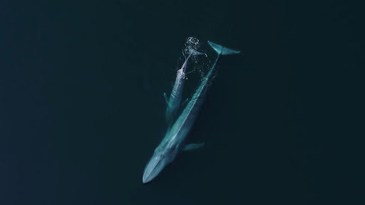 Zwei Finnwale an der Wasseroberfläche