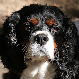 Jack by Chrissie Barrow - Animals - Dogs Portraits ( curly, pet, male, white, whiskers, fur, ears, cavalier king charles spaniel, dog, nose, tan, black, portrait, eyes )