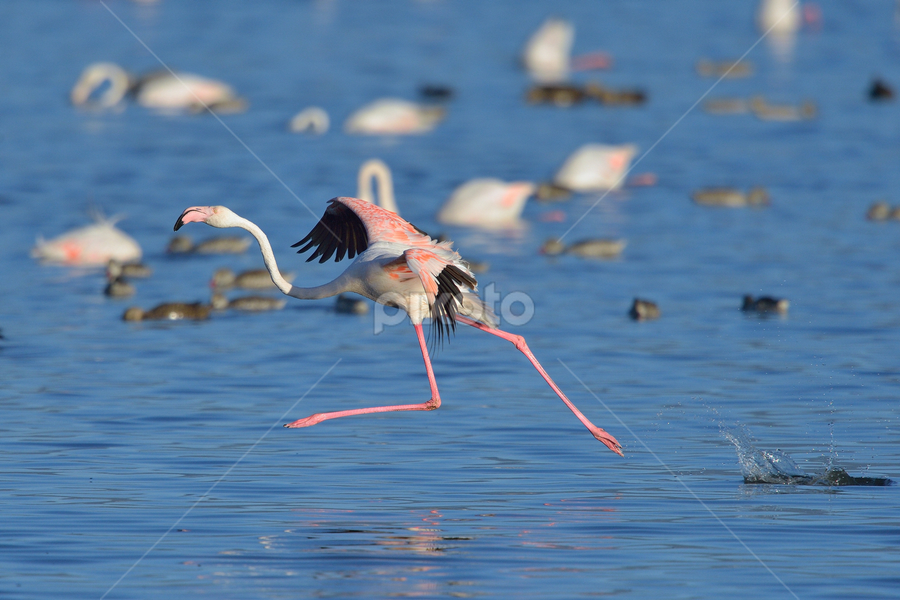Flamingo run by Neal Cooper - Animals Birds ( flamingo, take-off )