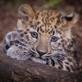 Amur Leopard Cub by Natasha Jefferies - Animals Lions, Tigers & Big Cats ( amur, cute, cub, leopard, eyes )