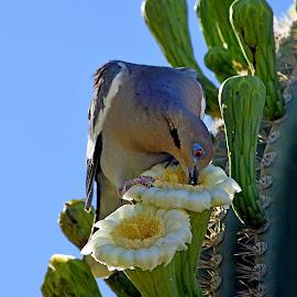 White-Winged Dove by Dawn Hoehn Hagler - Animals Birds ( bird, white-winged dove, arizona, tohono chul park, tucson, cactus flower, garden, flower, cactus, saguaro, dove )