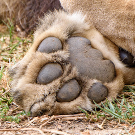 PAWS by William Sawtell - Animals Lions, Tigers & Big Cats ( cats, king of the jungle, lion, paws, male lion )