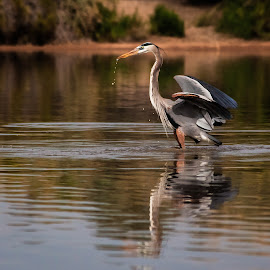 Great Blue Heron by Dave Lipchen - Animals Birds ( dipped, water drops, pool, blue heron, pond,  )