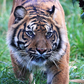 by Andrew Davies - Animals Lions, Tigers & Big Cats