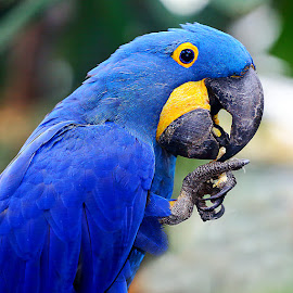 Blue, blue, blue by Gérard CHATENET - Animals Birds (  )