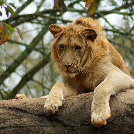 I See You by Susan Fries - Animals Lions, Tigers & Big Cats ( king of the jungle, lion, cat, tree, brown, mammal, animal )