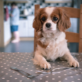 Another One For Dinner? by Dan Horton-Szar ARPS - Animals - Dogs Portraits ( cavalier, household, king charles spaniel, dog, dinner, pet, table, funny )