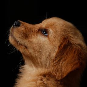 looking for my owner by Cristobal Garciaferro Rubio - Animals - Dogs Portraits ( pet, puppie, dog, golden retriever, pwc84 )