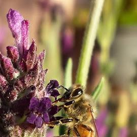 Desert Rosemary by Jennifer Hall - Nature Up Close Gardens & Produce