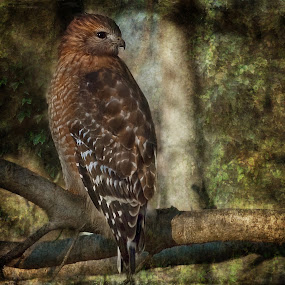 Red Shouldered Hawk by Robert Burger - Animals Birds