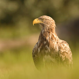 The King of Europe by Alek Arabadjian - Animals Birds ( white-tailed eagle, haliaeetus albicilla, wilderness, bird of prey, орлан белохвост, wildlife, sea eagle, raptor, sunrise )