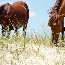 Beach Carova Pony by Sherry Jennings - Animals Horses ( sand, horse, sunny day, tuft grass, beach )